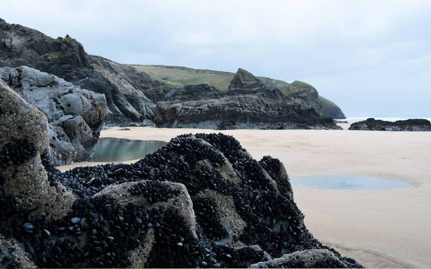 mussels on rocks at bedruthan steps in cornwall
