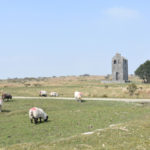 herd of sheep grazing in front of engine house on bodmin moor near minions in cornwall