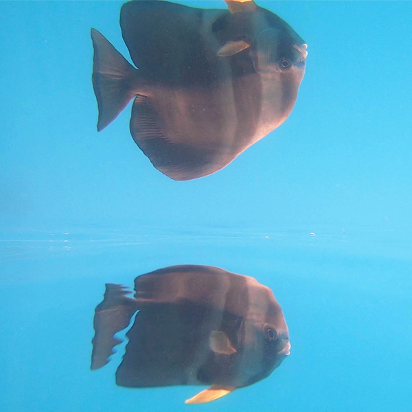 bat fish reflection in the great barrier reef in australia