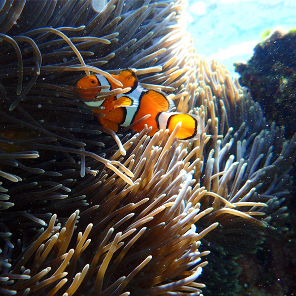 clown fish in a sea anemone at the great barrier reef in australia