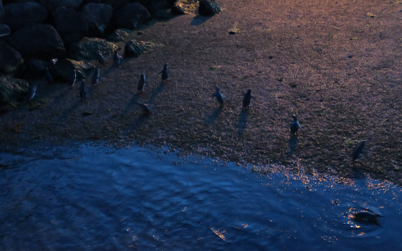 little penguin colony at st kilda in melbourne in australia
