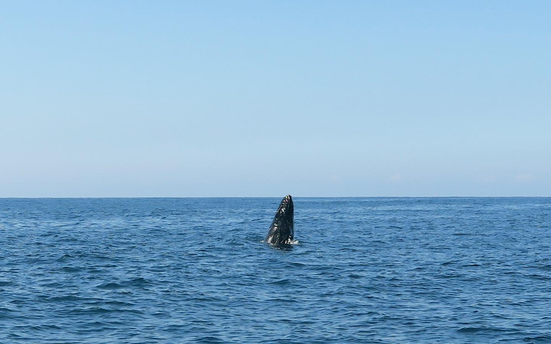 humpback whale breaching in the sea near sydney in australia