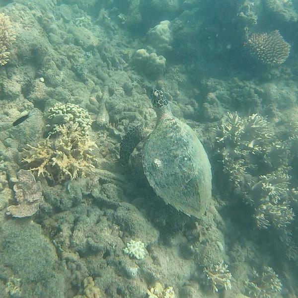 sea turtle in the great barrier reef in australia