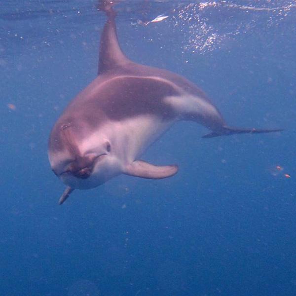 dusky dolphin on dolphin encounter trip in Kaikoura in New Zealand