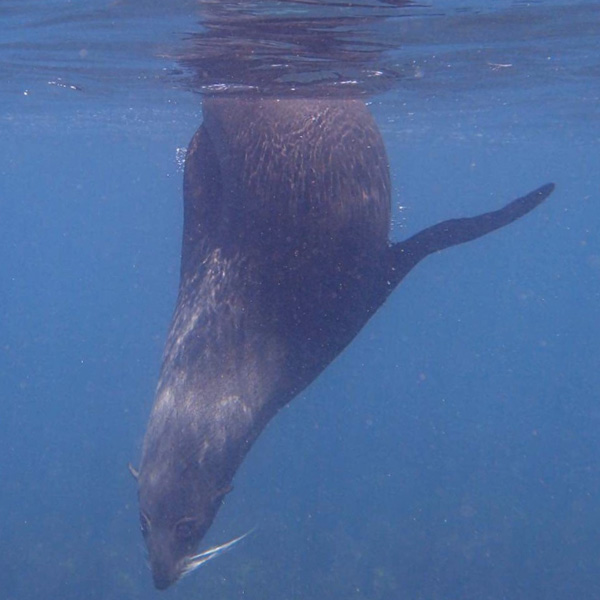 fur seal swimming in Kaikoura in New Zealand