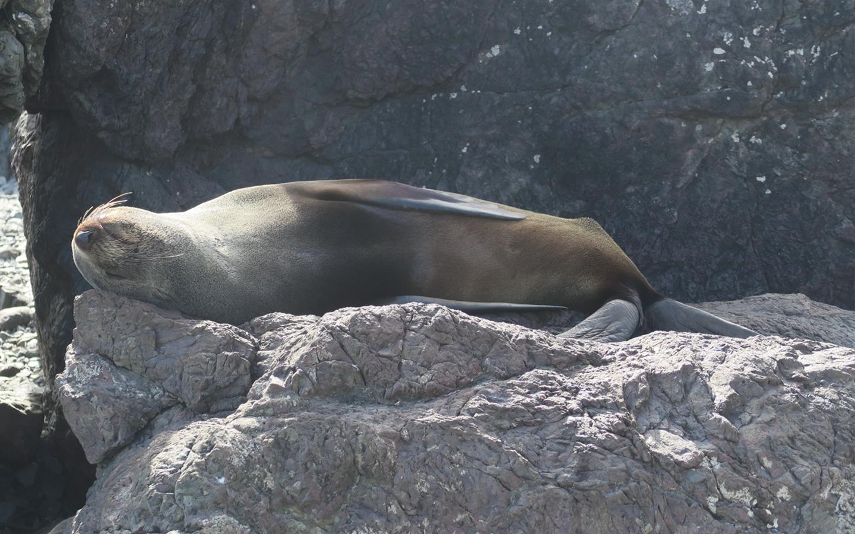 fur seal sleeping on back on rock in the sun