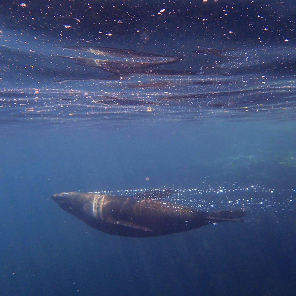 underwater photography of a fur seal swimming in Kaikoura in New Zealand
