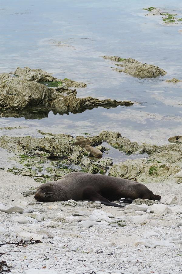 fur seal sleeping on sand in Kaikoura in New Zealand