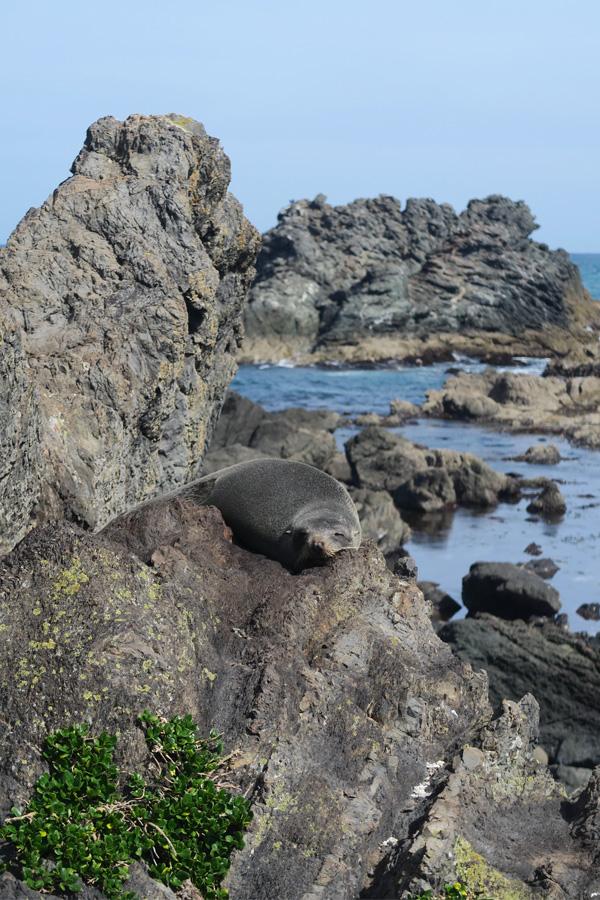 fur seal sleeping on rock at cape palliser, new zealand
