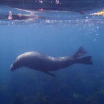 fur seal swimming underwater in Kaikoura in New Zealand
