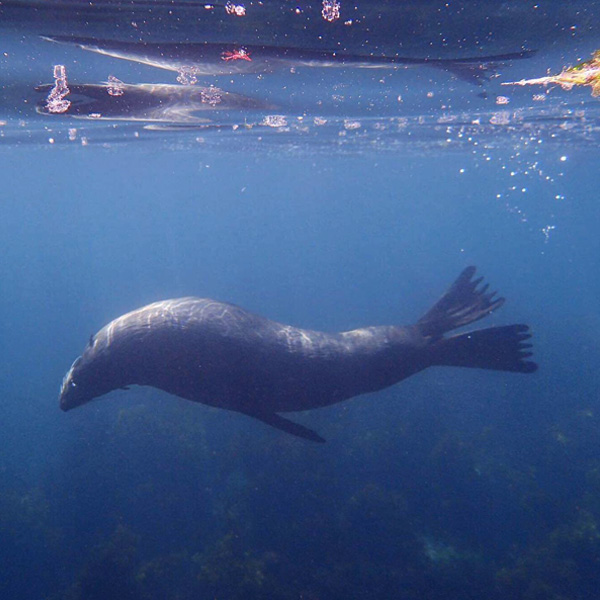 fur seal swimming underwater in Kaikoura in New Zealand