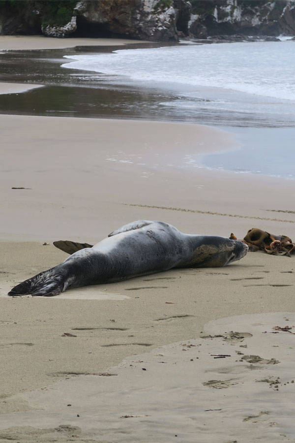 leopard seal on beach at nugget point in new zealand