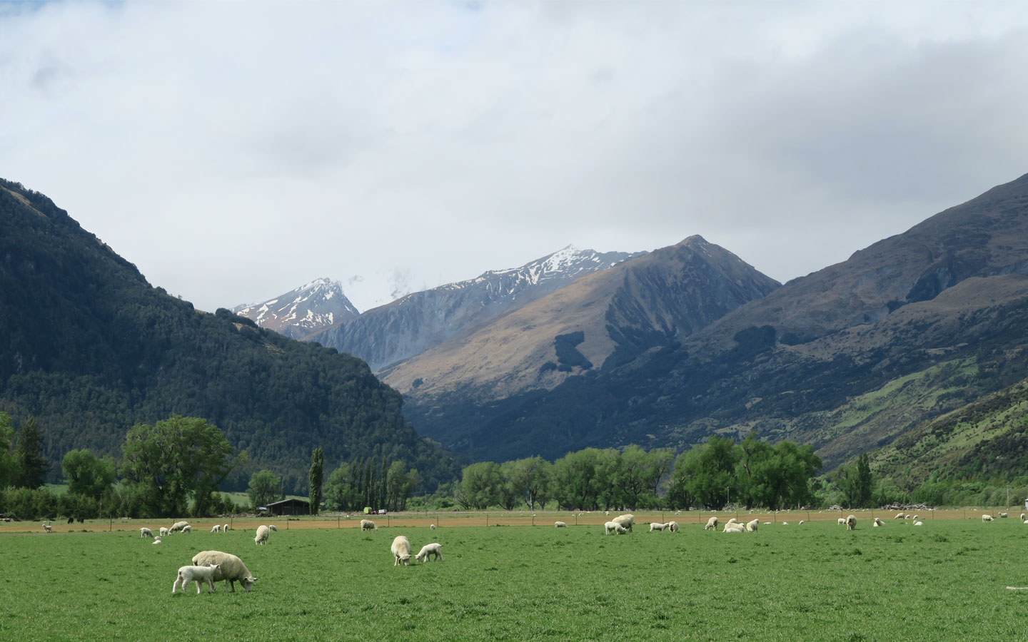 sheep in front of mountains in glenorchy in new zealand