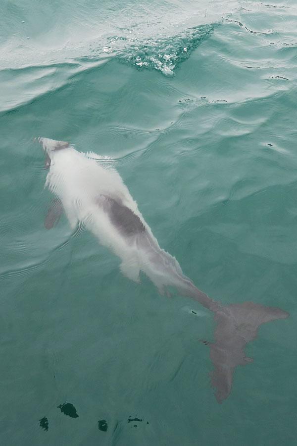 hector dolphin swimming underwater in akaroa in new zealand