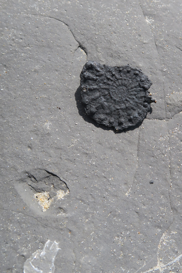 ammonite found fossil hunting on the jurassic coast