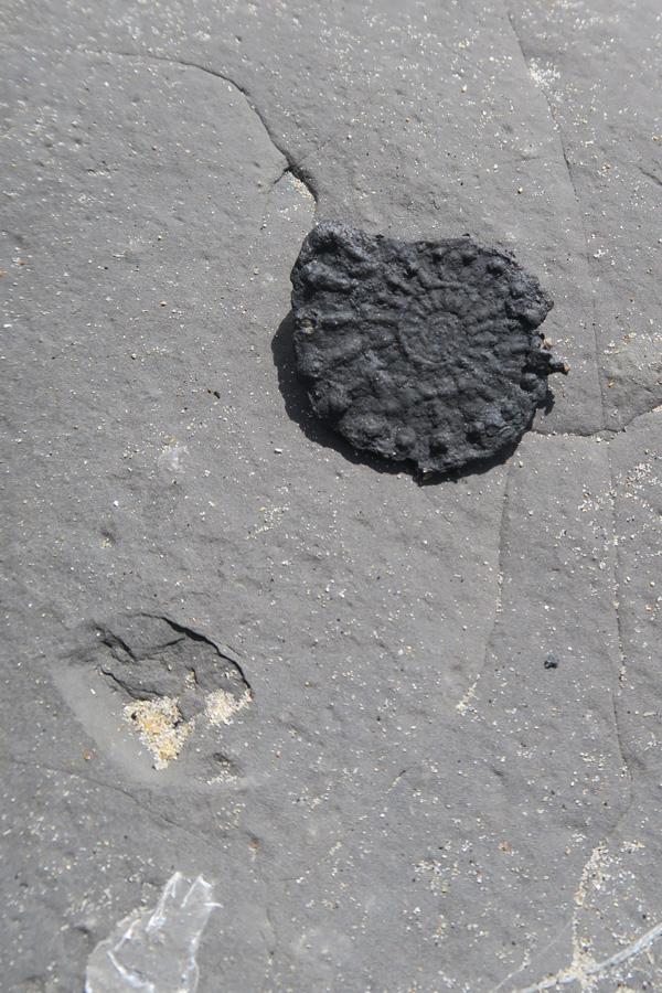 ammonite found fossil hunting on the jurassic coast