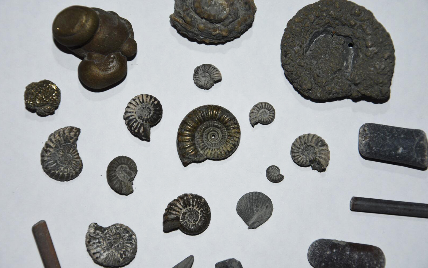 ammonites and belemnites found fossil hunting in charmouth