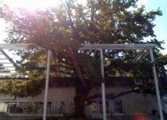Najstarije zaštićeno stablo u Beogradu