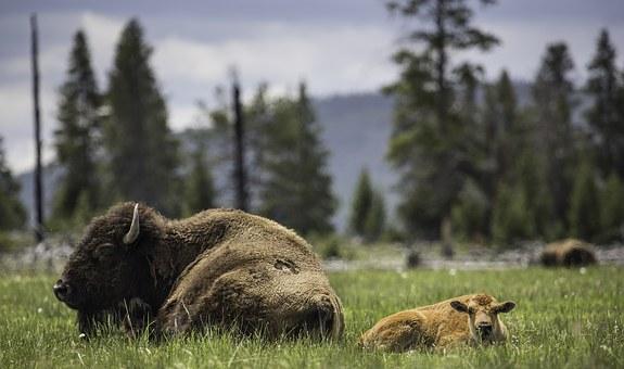 Rodio se beli bizon u Beogradskom zološkom vrtu