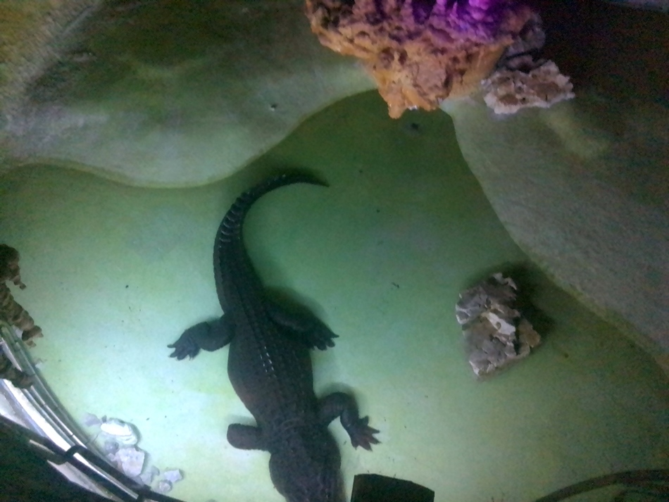 Beo zoo vrt: Stigao Nilski krokodil