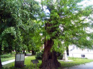Trnovo drvo u Apatinu – Sveto drvo iz Jerusalima