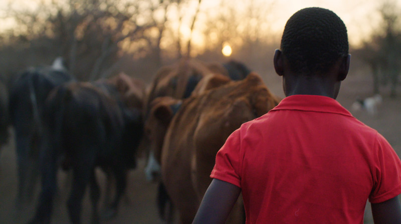 A young boy, from a local community in Chiredzi, helps to herd his family's cattle. Captured while on assignment in the Malilangwe Concession.