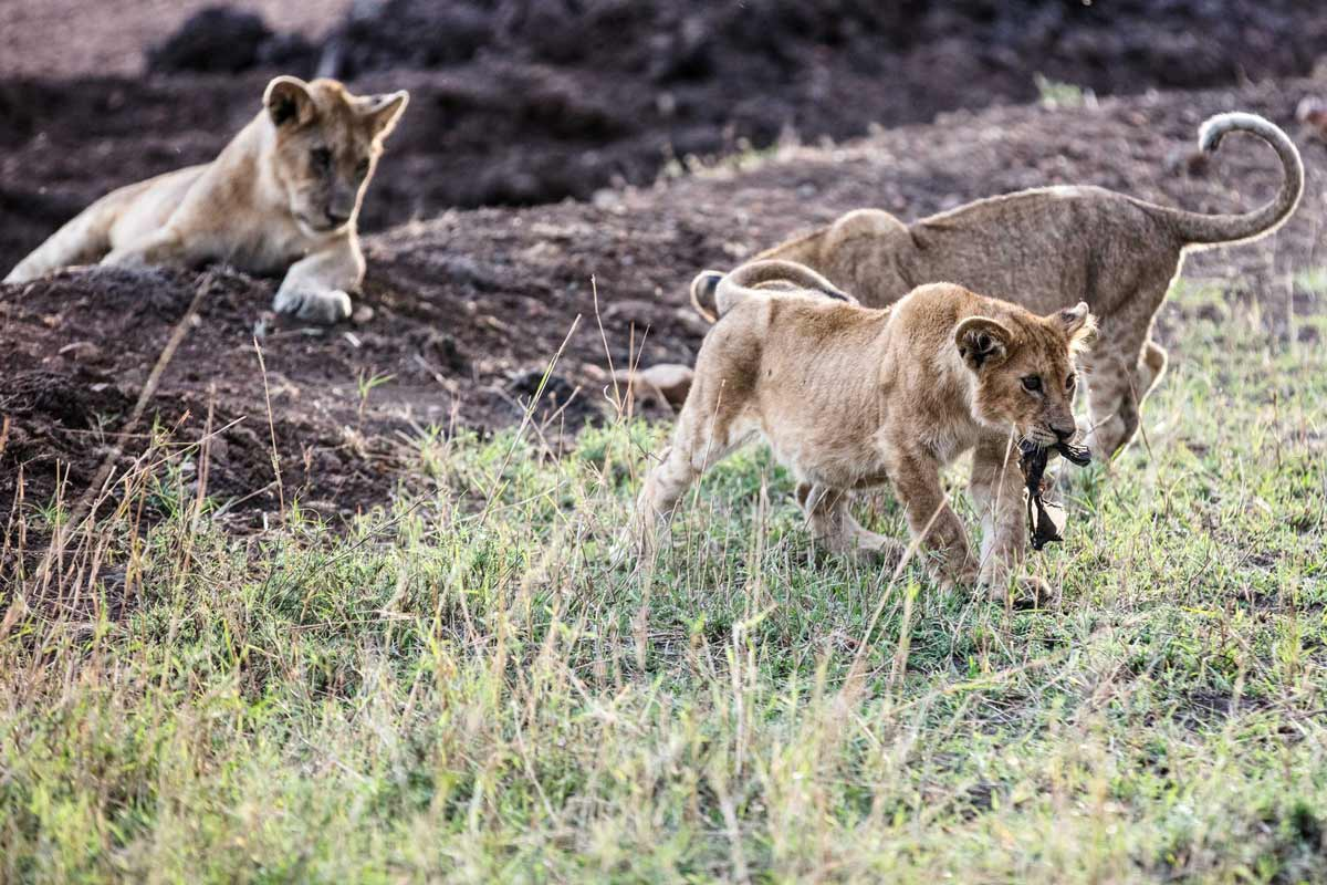Lion cubs in the Serengeti.