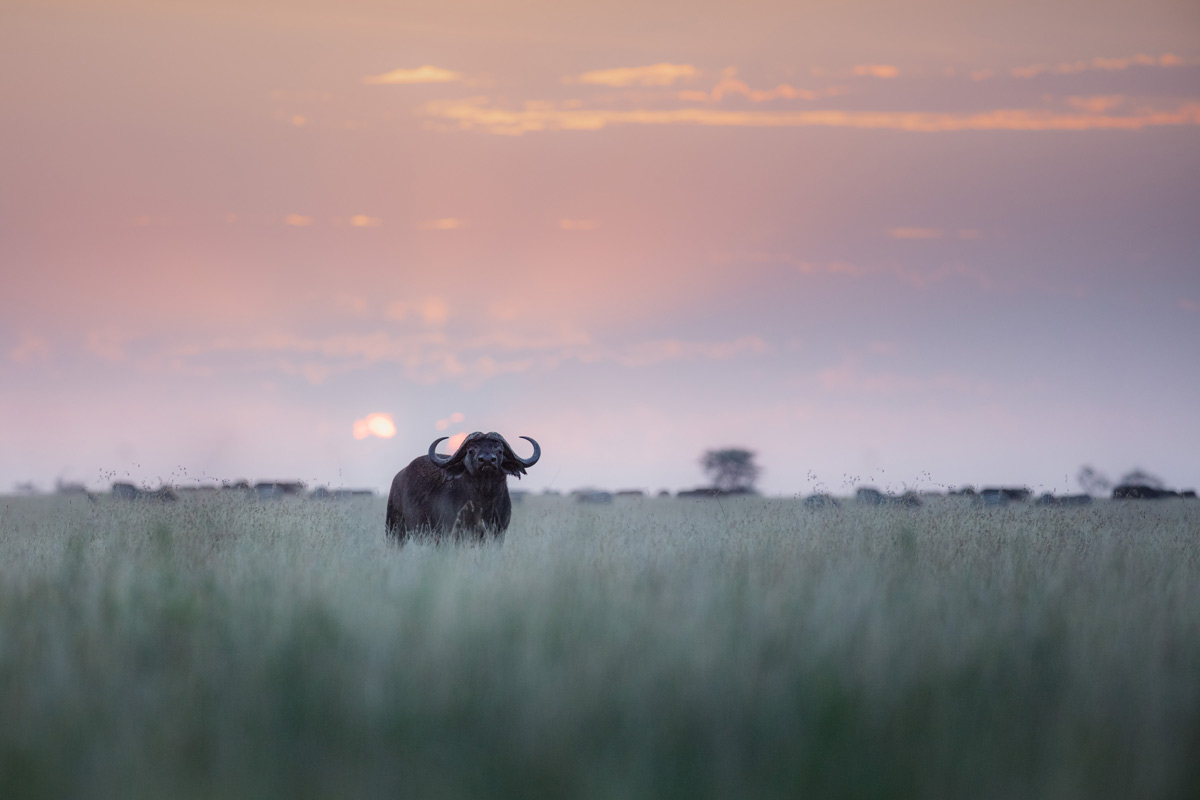 A buffalo stares at the camera in the open plains of the Serengeti.