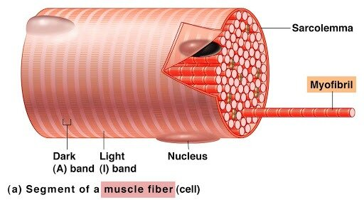 How Does Protein Aid In Muscle Function