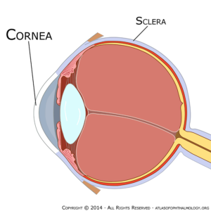cornea_grande