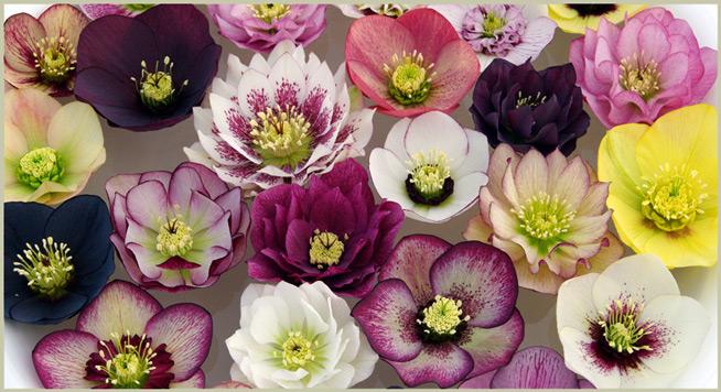 My Winter Roses