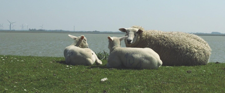 LV Schleswig-Holsteinischer Schaf- & Ziegenzüchter e.V.