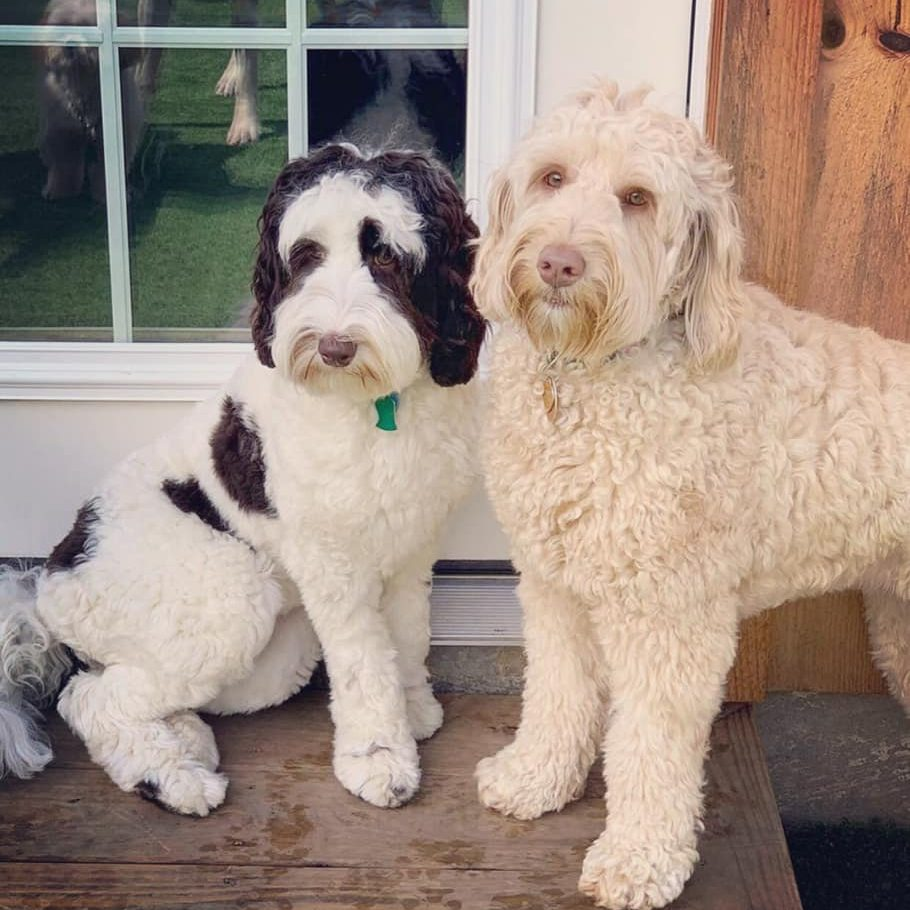 About Labradooldes-About Labradoodles