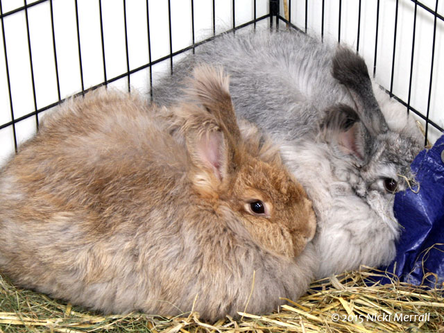 Two Angora rabbits, one grey and one pale brown