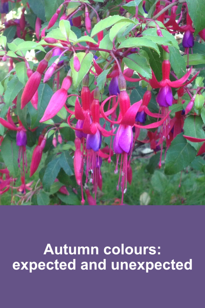 Deep pink and purple fuchsias against a leaf green background