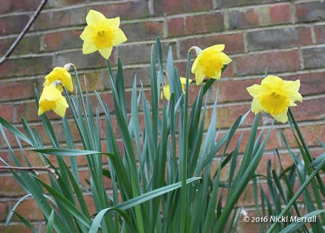 Four daffodil flowers