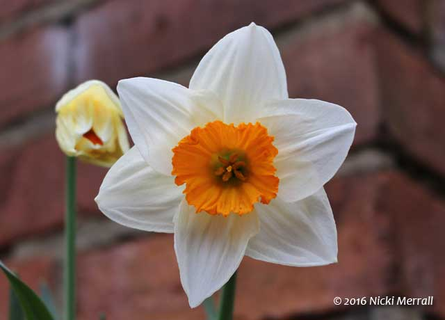 A single Narcissus flower with cream sepals and petals and bright orange corona