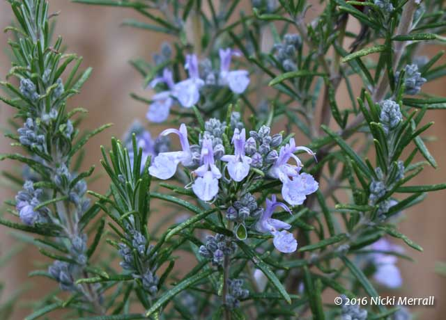 Many rosemary flowers on a stem