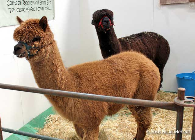 Two alpacas, one with tan hair and one with black