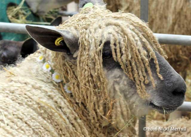 Wensleydale sheep wearing a daisy chain