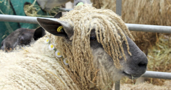 Read more about the article Wool and woolly animals at Wonderwool