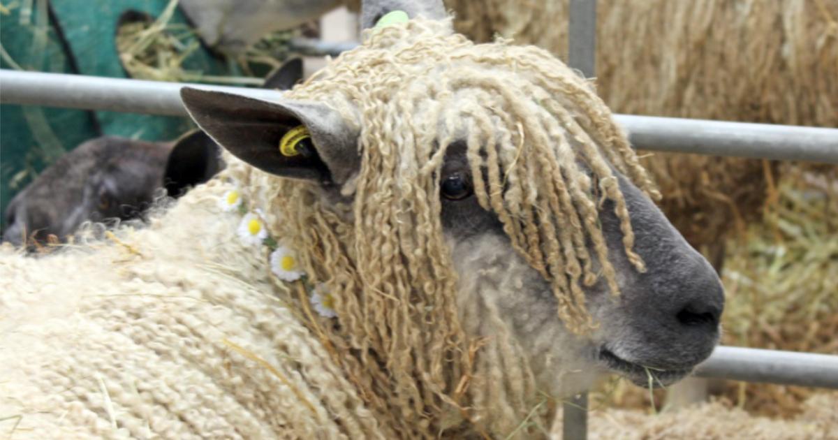 Wool and woolly animals at Wonderwool