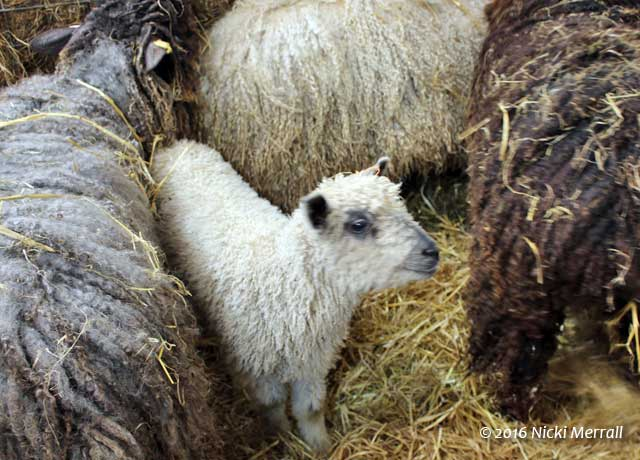 White Wensleydale lamb between Wensleydale sheep in a variety of colours