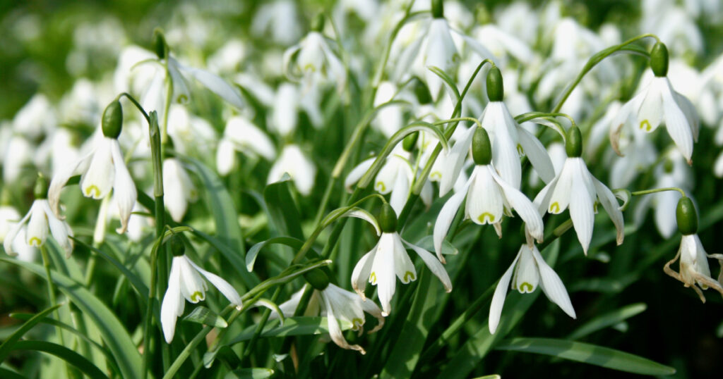 Snowdrops in flower