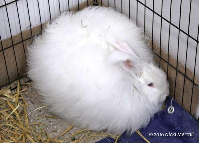 Large white Angora rabbit