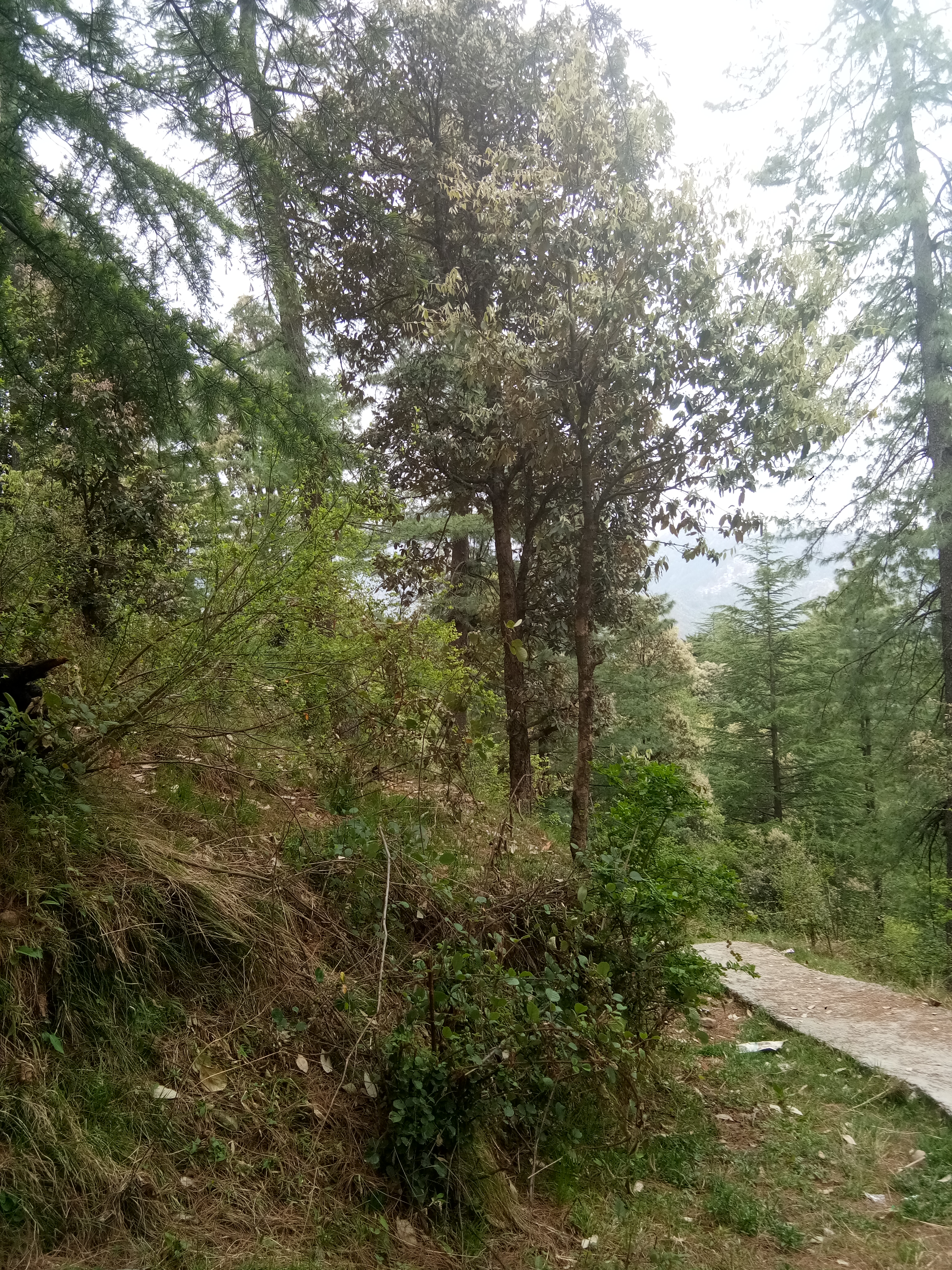 15 Biswa Plot For Sale at Tarapur Mashobra — Drive in— 100m Link From Main Road —- usable for Cottage and guest House — Distance from Shimla – 15 km — Price – 65 Lakhs .