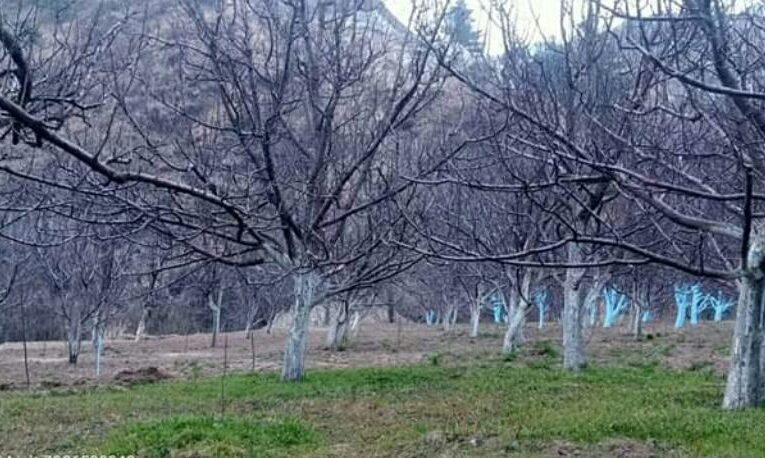16 Bigha Apple Orchard For Sale near Kotkhai Shimla HP — Total Plants – 800 — Elovation – 4000 Ft —- Drive in —- With 8 Room House —– Price – 2.20 Cr
