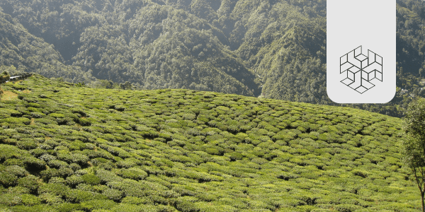 What is Brewing in Assam's Tea Industry?