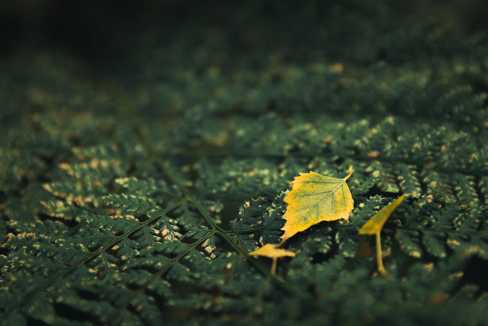 Holme Fen leaf on ferns in autumn