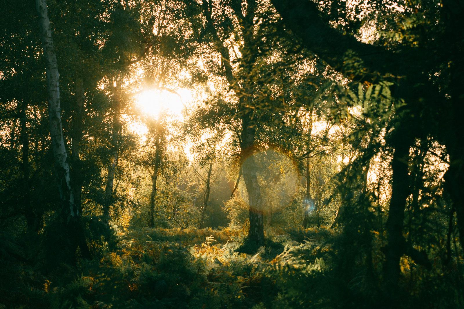 Holme Fen sunset ferns, forest, trees